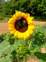 Bees on the sunflower