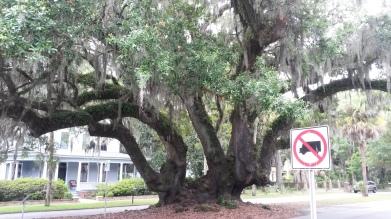 Amazingly large tree