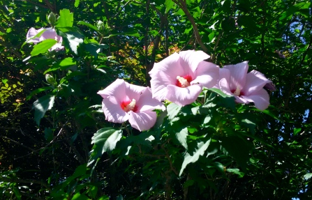 Maybe Rose of Sharon?